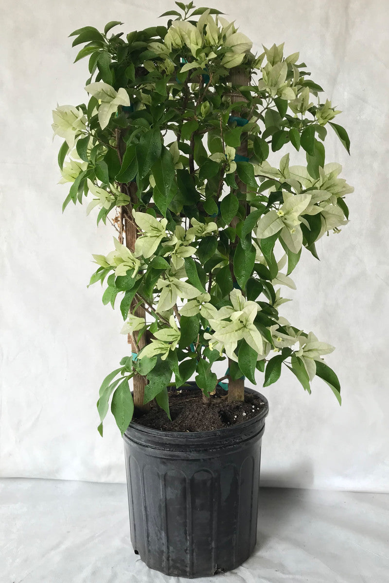 Mauna Kea White, Bougainvillea Plant (flowers, hanging basket, bush, trellis, patio tree, vine) (Stete Restrictions Apply)