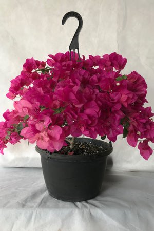 Barbara Karst Red, Bougainvillea Plant (flowers, hanging basket, bush, trellis, patio tree, vine)(State Resyrictions Apply)