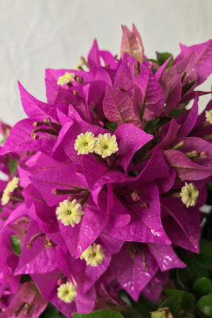 New River Purple, Bougainvillea(hanging basket, bush, trellis, patio tree, vine)(State Restrictions Apply)