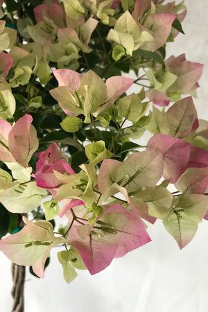 Thai Delight, Bougainvillea Plant (flowers, hanging basket, bush, trellis, patio tree, vine)(State Restrictions Apply)