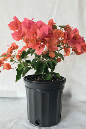 Sundown Orange, Bougainvillea (hanging basket, bush, trellis, patio tree, vine)State Restrictions Apply)