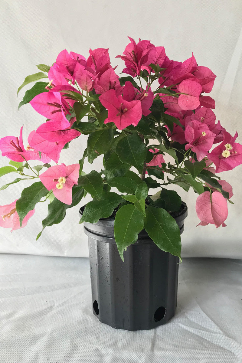 Rijnstar Pink, Bougainvillea (hanging basket, bush, trellis, patio tree, vine)(State Restrictions Apply)