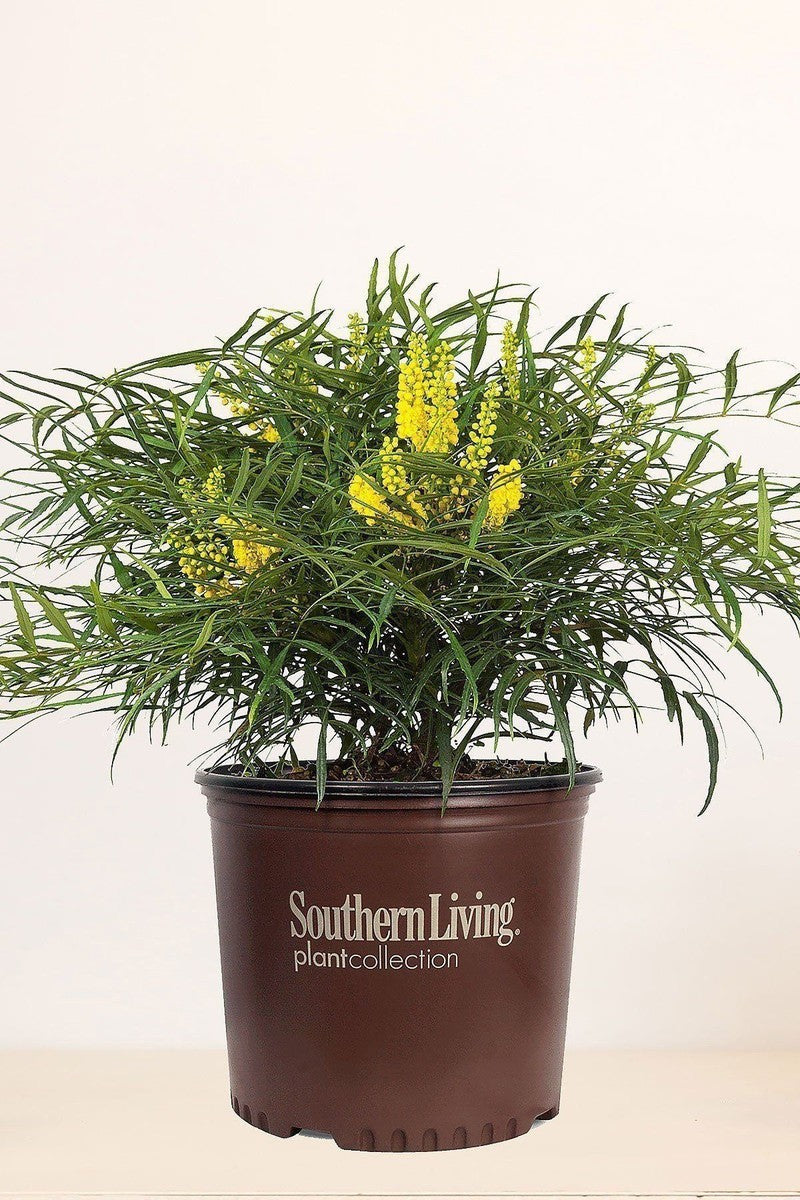 Southern Living Mahonia Soft Caress (landscape,bush,green foliage,yellow blooms)