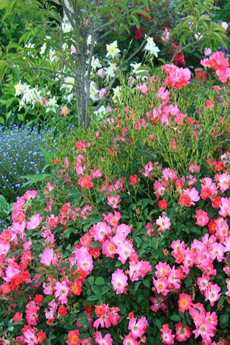 Drift Groundcover Rose Pink (bush, rose, ornamental, fragrant, pink flowers)