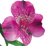 Alstroemeria Purple - BloomsyShop.com