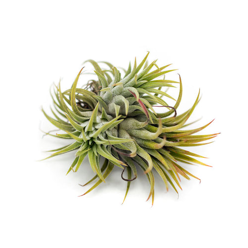 Large Ionatha Clump air plant sold at Bear Valley Nursery