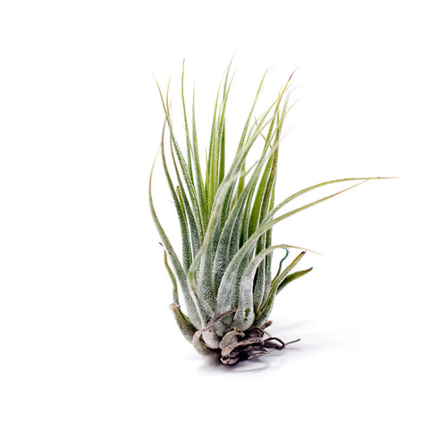 Medium sized Scaposa air plant for sale at Bear Valley Nursery