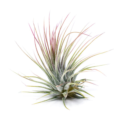 Medium sized Ionatha Guatemala air plant for sale at Bear Valley Nursery