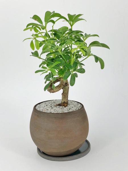 'Cosmo' the Dwarf Umbrella Tree