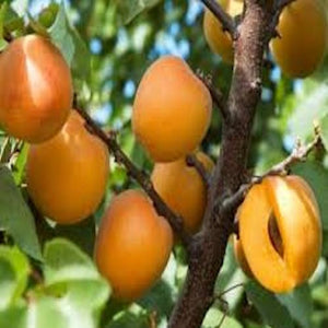 California Apricot seeds