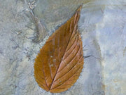 Detailed Celtis Aspera Hackberry Fossil Plant Leaf 60 Million Yrs Old Paleocene Age Leaf On Back - Fossil Age Minerals