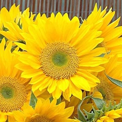 Sunflower Sunrich Gold F-1