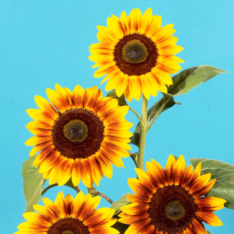 SunFlower F-1 Hybrid Bi Color Sunset Light