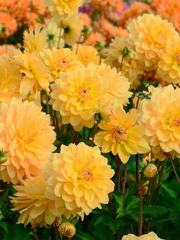 Golden Leader - Dahlia