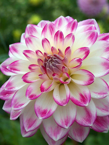 Sweetheart - Dahlia