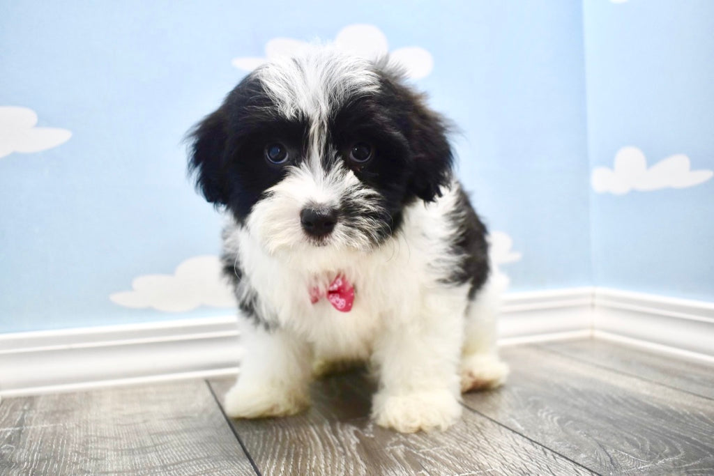 Buddy Male Teacup Havanese Puppy