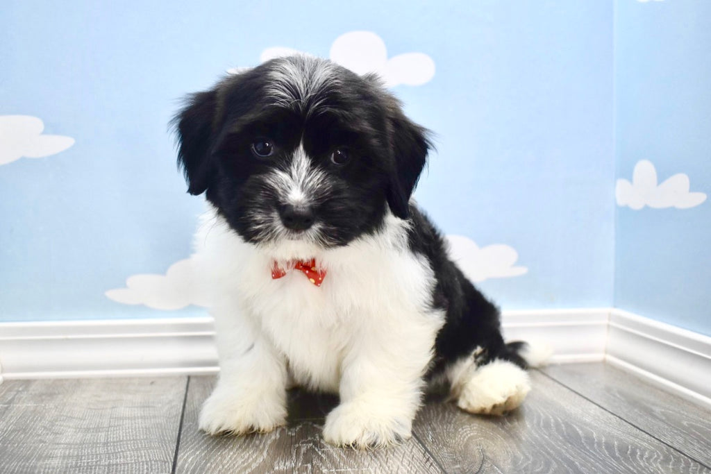 Timothy Male Teacup Havanese Puppy