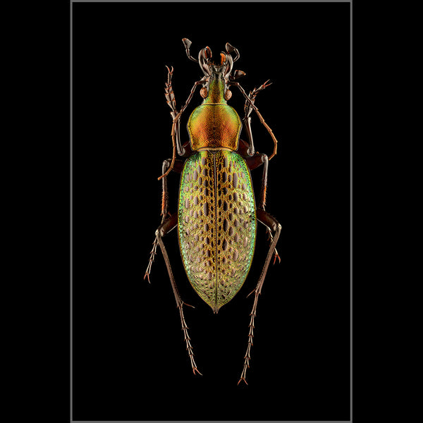 Chinese Ground Beetle