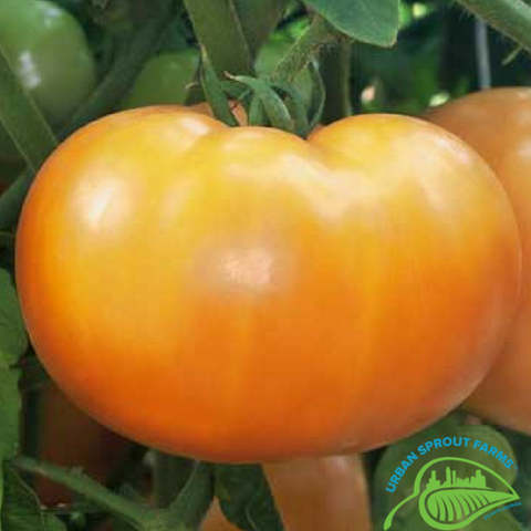 Mountain Gold Tomato