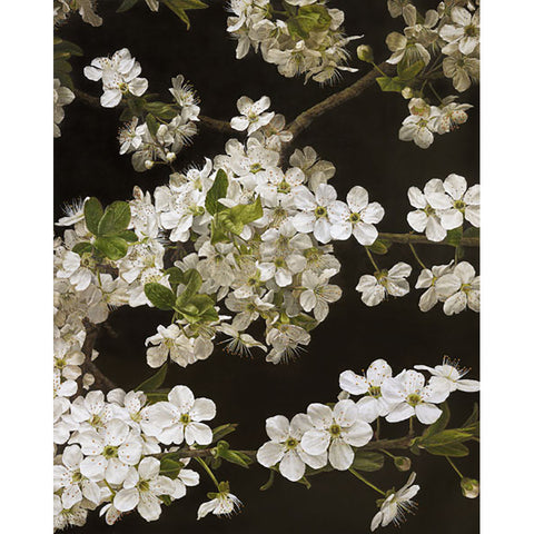 Cherry Blossom By Mia Tarney