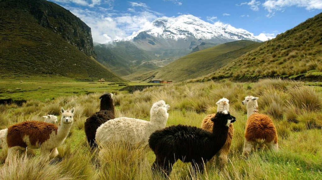 Alpaca vs. Cashmere : Learn why alpaca wool is the best option