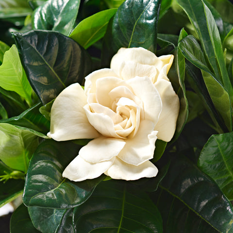 White Gardenia Plant Delivery - Plants - Postabloom Flower delivery app