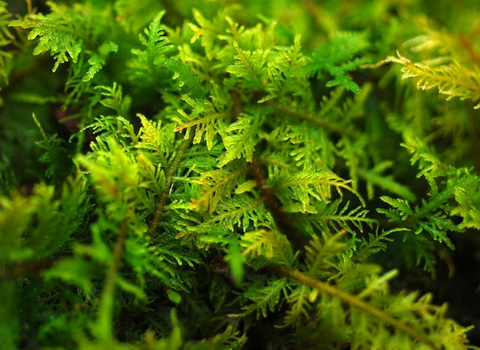 Thuidium delicatulum -- Living Moss Wall Panel -- Shade/Partial Sun