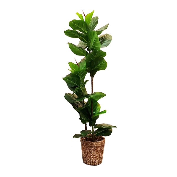 RENT Faux Ficus Plant with Basket Pot 1440 H