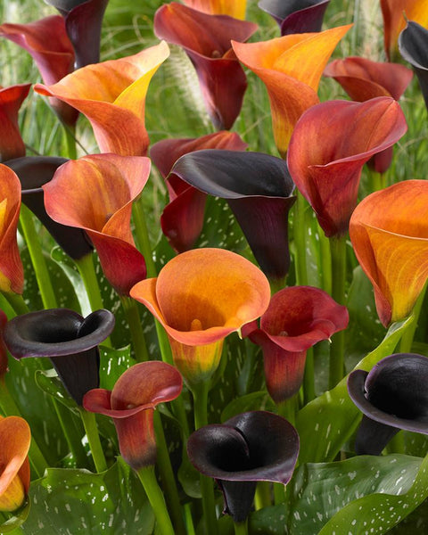 Calla Collection Tiger