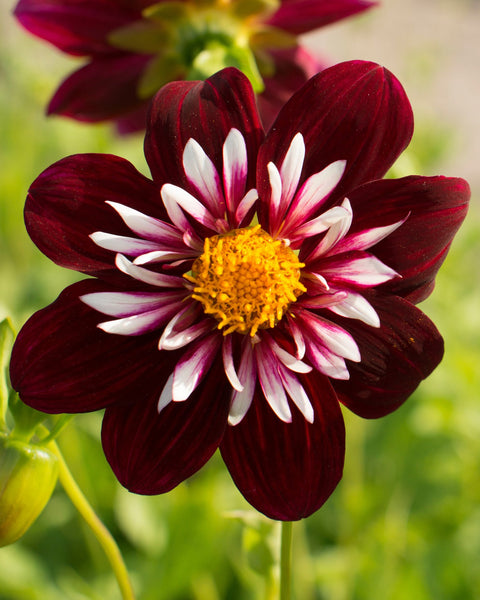 Dahlia Night Butterfly