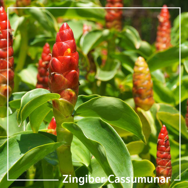 'Zingiber Cassumunar' or 'Plai Oil' is The Key to Relieving Pain and Inflammation Naturally