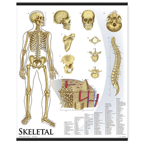 1421-10 Skeletal System Wall Chart