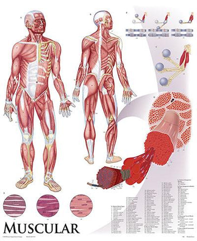 1422-10 Muscular System Wall Chart, mounted