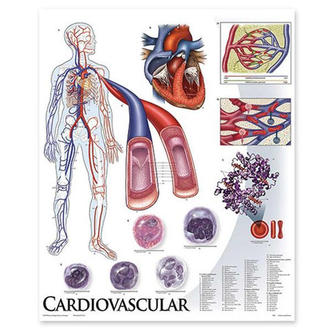 1424-01 Cardiovascular System unmounted