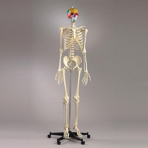 S54P Premier Academic Series Skeleton with color coded 18 pc take-apart skull and sacral mount mobile stand