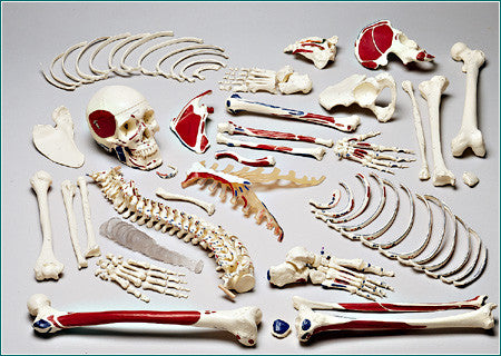 S73L Premier Disarticulated Skeleton with Hand Lettered Muscle Attachments