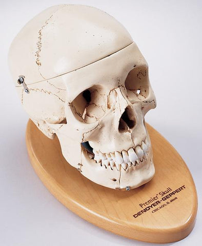 SK82B Premier Numbered Medical Demonstration Skull on removable wood base