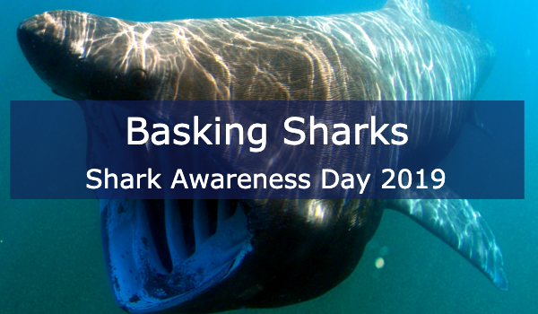 All About Basking Sharks