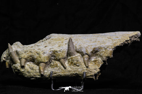 07026 - Museum Grade 7.67 Inch Dyrosaurus phosphaticus Fully Articulated Nose