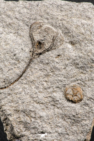 07203 -  Top Rare Associated Ordovician Crinoid and Edrioasteroid (Spinadiscus)