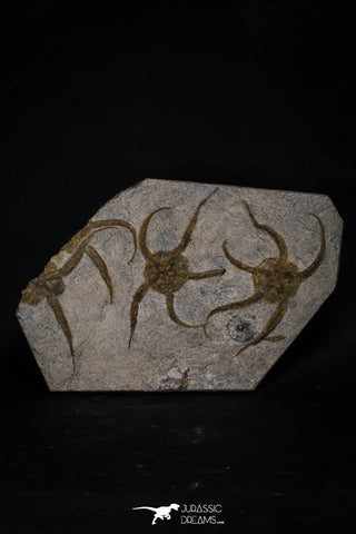 20151 -  Superb Association 4 OPHIURA SP Brittlestars Upper Ordovician Ktaoua Fm