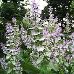 Clary sage oil Botanical name: Salvia sclarea