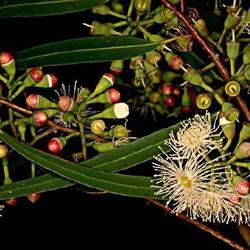 Eucalyptus oil (lemon) Botanical name: Eucalyptus citriodora