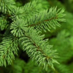 Fir needle oil Botanical name: Abies alba