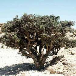 Frankincense oil Botanical name: Boswellia serrata