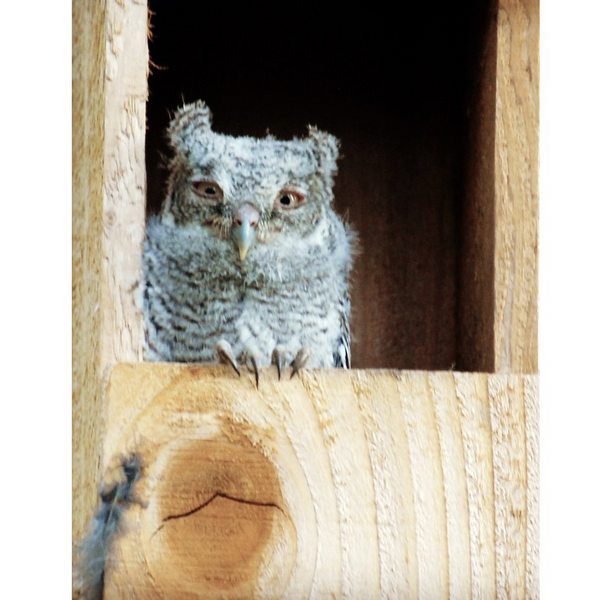 OwlReach Screech Owl Nest Box with OwlView™ - FREE SHIPPING!