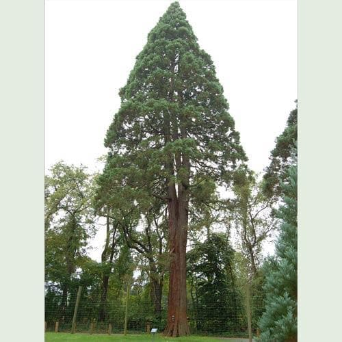 Sequoiadendron giganteum - Future Forests