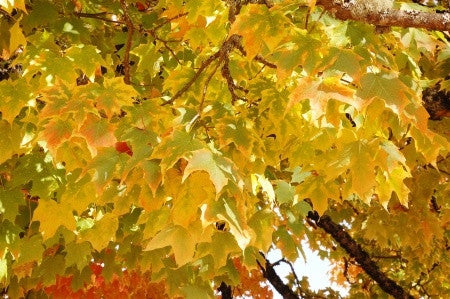 Acer platanoides (Norway Maple) seeds - RP Seeds