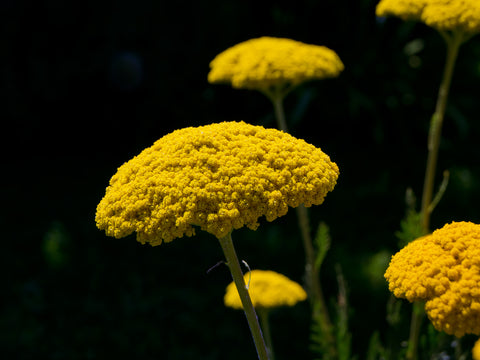 Achillea fillipendula Cloth of Gold (Yarrow) seeds - RP Seeds