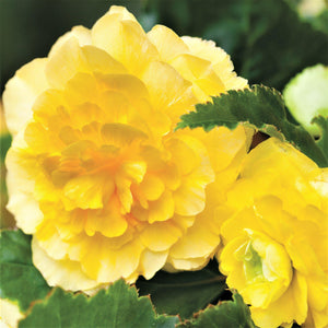 products/Begonia_Hanging_Basket_Sunny_Day_1.IBULB_2.jpg